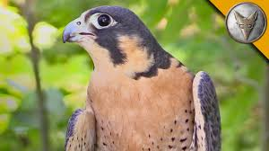 peregrine falcon is the fastest animal in the world youtube