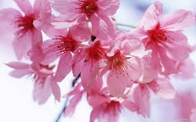 cherry flowers wallpapers spring wallpapers free download group 77