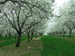 our fruits king orchards fresh fruit montmorency tart cherry trees