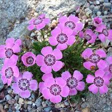 pinks miniature alpine friends plant sale