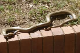 How To Find Snakes In Your Backyard Snake Info Snake Catchers Brisbane