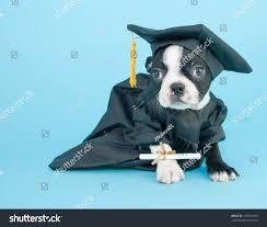 Boston Terrier Flag Boston Terrier Puppy Dressed Cap Gown Stock Photo 195201395