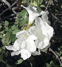 White Trumpet Flower - white trumpet vine photograph by jay milo