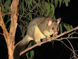 How Do You Get Rid Of Possums In The Backyard by Possums Compared To Opossums What U0027s The Difference