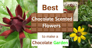 best chocolate scented flowers plants and flowers that smell