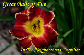 daylilies for sale plants for sale