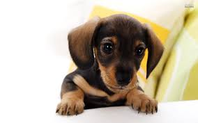 puppy background for computer halloween dachshund wallpaper wallpapers browse