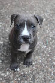 american pitbull terrier gator best 25 blue nose pitbull puppies ideas on pinterest blue pits