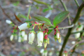 maine native plants using georgia native plants why aren u0027t you growing blueberries