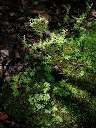 plants native to alabama jim allison u0027s home page