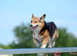 belgian shepherd easy to train pembroke welsh corgi dog breed information pictures