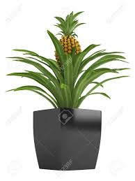 fruiting pineapple plant with a ripenng fruit potted in a