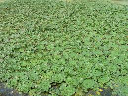 new jersey native plants invasive plant advisory water chestnut nj com