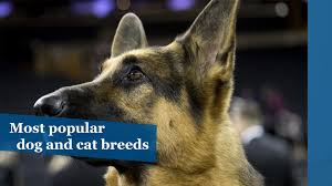 most popular dog and cat breeds chicago tribune