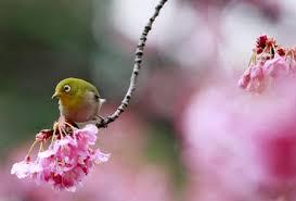 bird sings songs on blooming cherry blossom tree 3