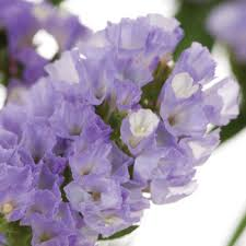 culture statice lavender flower