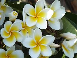 plumeria flower free photo plumeria white free image on pixabay