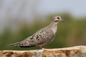michigan audubon opposes proposal for mourning dove hunt