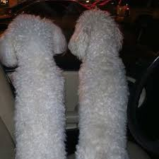 d douglas bichons frise 158 best dogs images on pinterest animals bichons and puppies