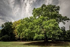 the uk s tree of the year has been revealed metro news