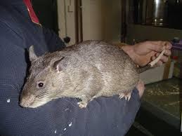 gambian giant rat natural unseen hazards blog