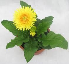 gerbera plant buy gerbera single petal yellow color flowering plant