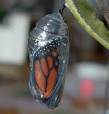 butterfly in caccoo monarch butterfly in transparent cocoon