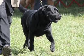 afghan hound and labrador retriever labrador retriever breed information labrador retriever images