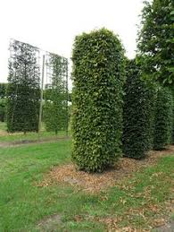 pleached trees shaped topiary trees photo gallery hedgeworx