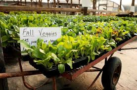 what to plant in your fall vegetable garden joe gardener