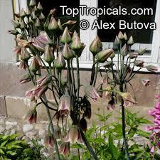nectaroscordum siculum allium siculum ornamental