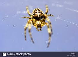 spider predator big large huge blue colour color insect