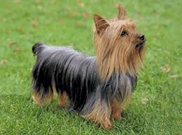 silky terrier with haircut dog breed silky terrier