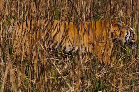 home interior tiger picture a concise history of tiger hunting in india u2013 national geographic