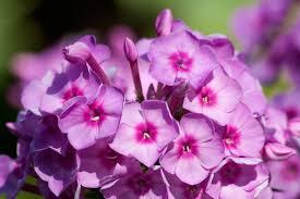 Phlox Flower Purple Phlox Free Image Peakpx