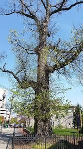 usda ars magazine ars helps preserve historical elm tree