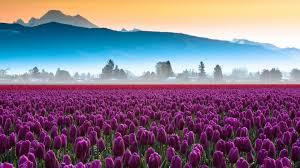 Tulip Field Field Of Yellow Tulips Wallpaper