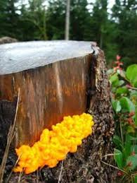 Types Of Garden Fungus - pin by s white on mycological fun pinterest fungi