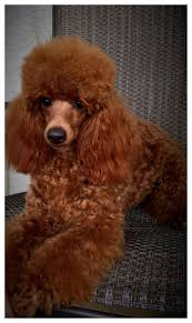 hair styles at the shoodle in animal crossing new leaf 28 best red miniature poodles images on pinterest poodles