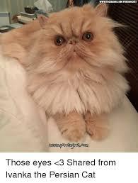 Persian Cat Meme - wwwfacebookcomipersiancatz those eyes 3 shared from ivanka the