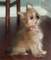 chorkie haircut styles 18 best chorkies images on pinterest cubs puppies and puppys