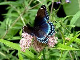 beautiful spotted admiral butterflies limenitis arthemis