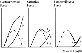 muscle fibre diagram of semitendinosus muscle articles
