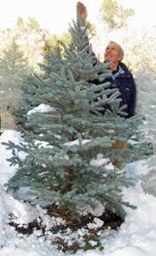 scotch pines blue spruce white firs balsam firs black