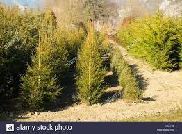 catchy collections of christmas tree farm eustis fl grow a