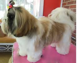 pictures of shih tzu haircuts 19 best shih tzu hair cuts images on pinterest pets animals dog