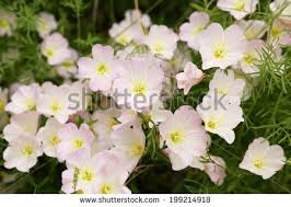 Pink Primrose Flower - mexican evening primrose stock images royalty free images