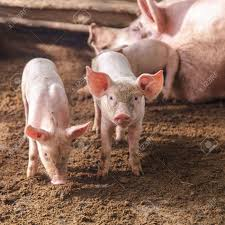 pig farm images u0026 stock pictures royalty free pig farm photos and