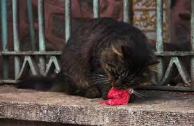 raw food diet for a cat