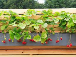 gem se pflanzen balkon gemüse im blumentopf großziehen sorten die geeignet sind